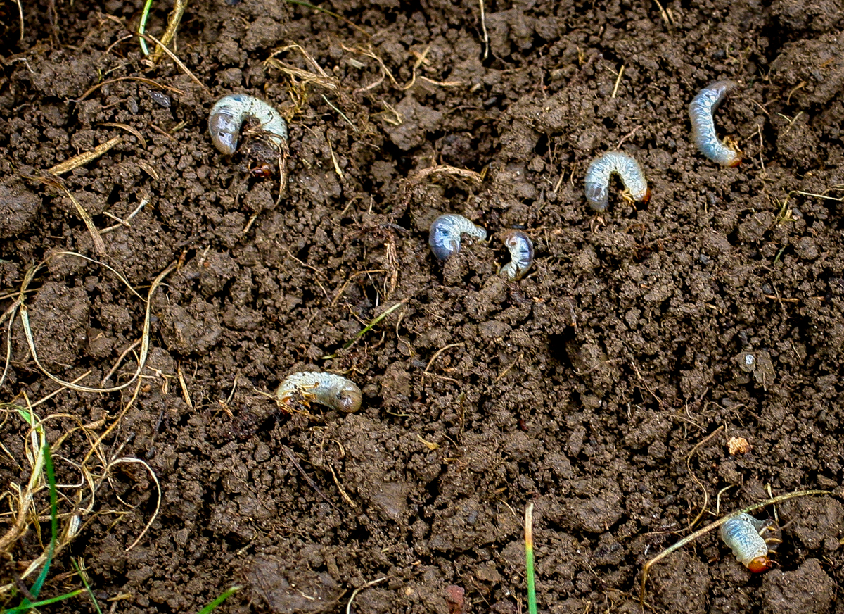 Lawn Grubs And Anese Beetles